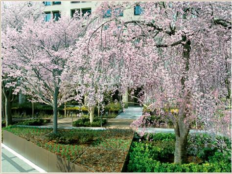 中之島の新しい新名所となる、桜が彩る街園。